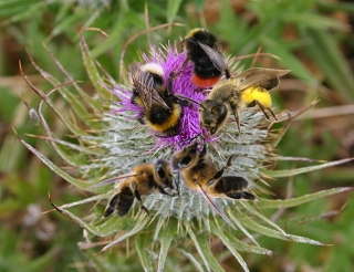 wild bees