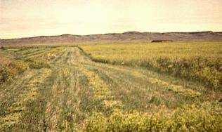 Making hay from sweet clover, Val Marie, Saskatchewan, 1975.