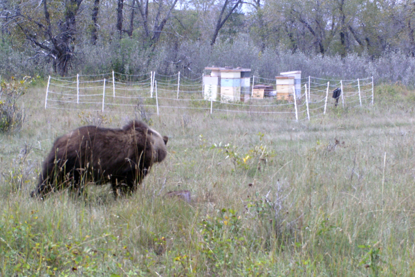 Alberta bees beehives animals bears grizzly beekeeping mountains