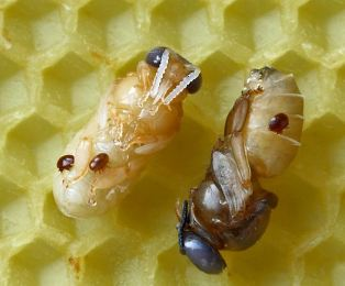 Mites on brood