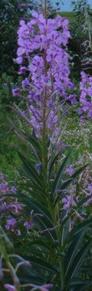 fireweed in calgary