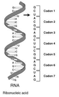 RNA codon