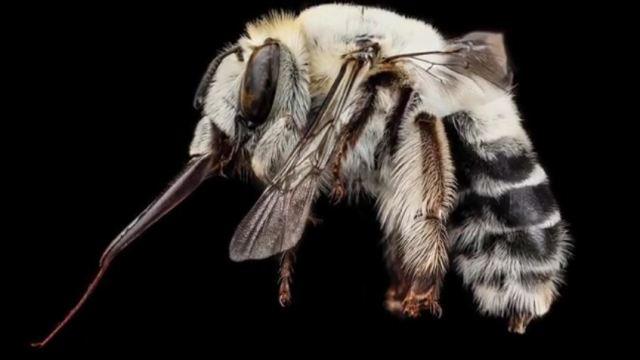 Anthophora affabilis, or Friendly Flower-Lover, South Dakota Badlands National Park, USA
