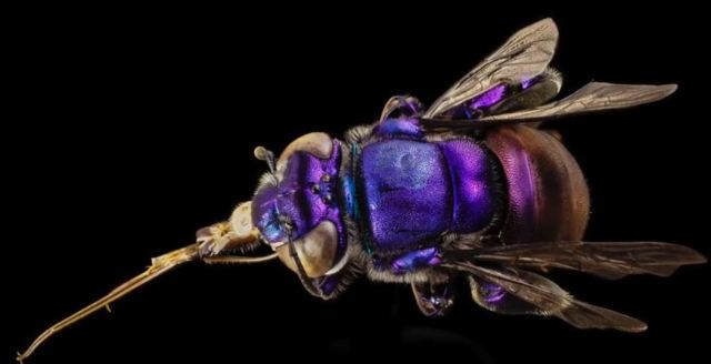 Euglossa species, Orchid Bee - Guyana, South America