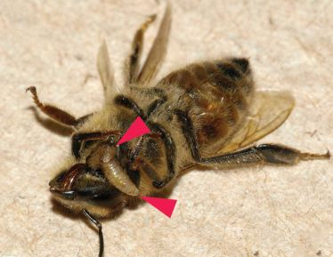 An almost dead honey bee with two zombie fly larvae emerging near the bee's head. (Wikipedia)