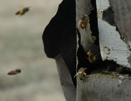 bees arriving with pollen in Alberta