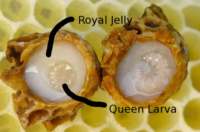 The Queen's Breakfast: Royal Jelly (Source: Wikimedia)