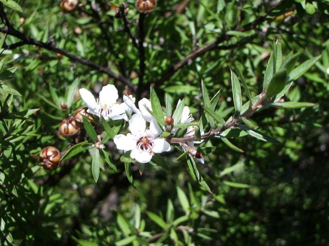 Manuka in bloom. (Source: Wikicommons)