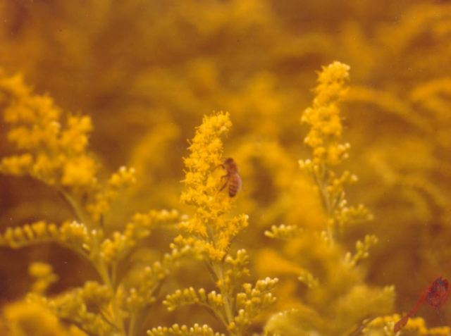 Goldenrod, not a typical choice for a flower garden. But in some regions, highly attractive to honey bees.