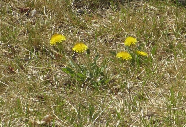 April dandelions in Calgary. The grass should be lush green from spring showers, but the drought has left it brown. Even the dandelion flowers look stressed.