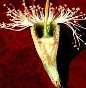 karri blossom