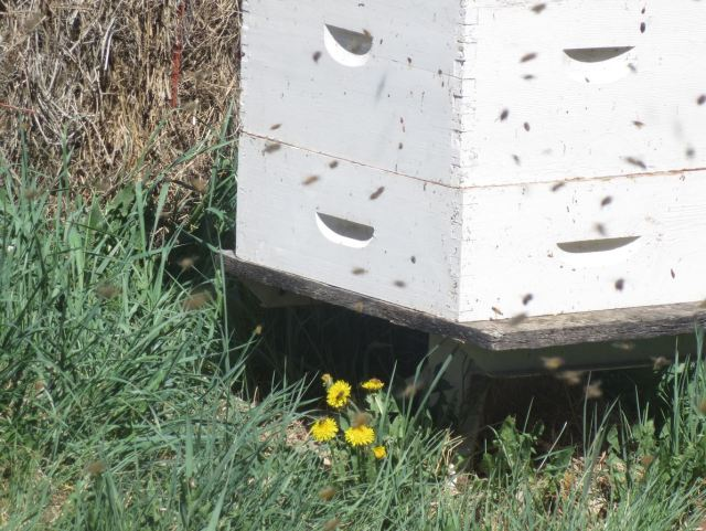 Bees were working dandelions in the apiary.