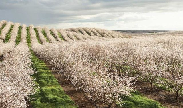 California's almonds. (Credit: amonds.com)