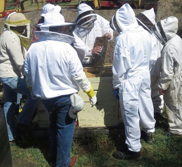 Collecting bees for mite counts.