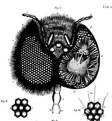 Jan Swammerdam's 1673 sketch helped him understand the bee's compound eyes