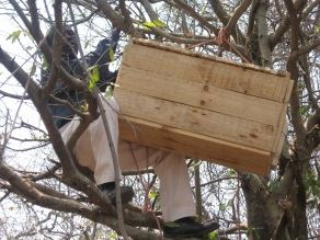 Bees and beekeeper in a tree.