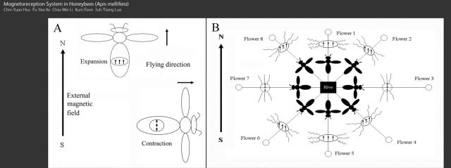 Theoretical affect of magnetic fields on bee navigation.