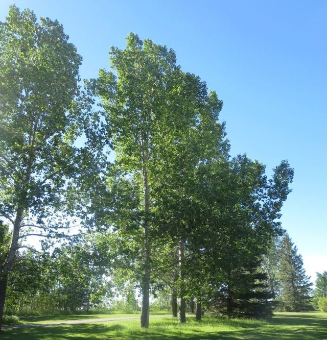 Our western poplars, also known as cotton wood trees.