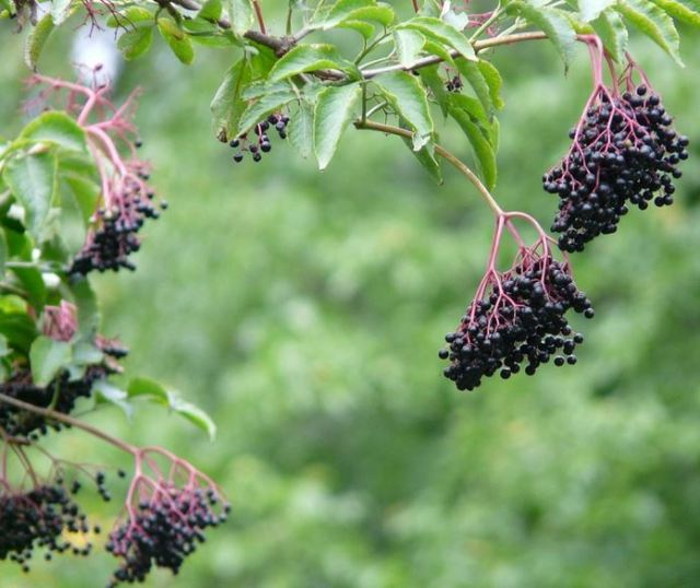 Elderberry fruit: ripe for wine, berry pie, or nibbles for birds and bears
