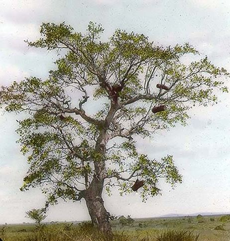 1906 - Bee hives in a tree, at the base of the hills south of Munarago, British East Africa