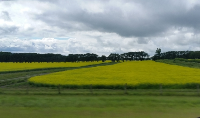 Alberta canola: about 1,000 acres of Canada's 20 million acres of canola.