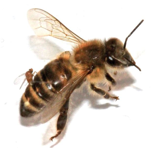 Fly laying eggs inside a honey bee. The first step in zombee-ification. (Credit Wiki)