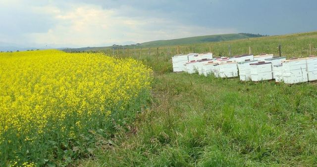 Author's bee yard alongside canola field. Honey produced here will granulate quickly.