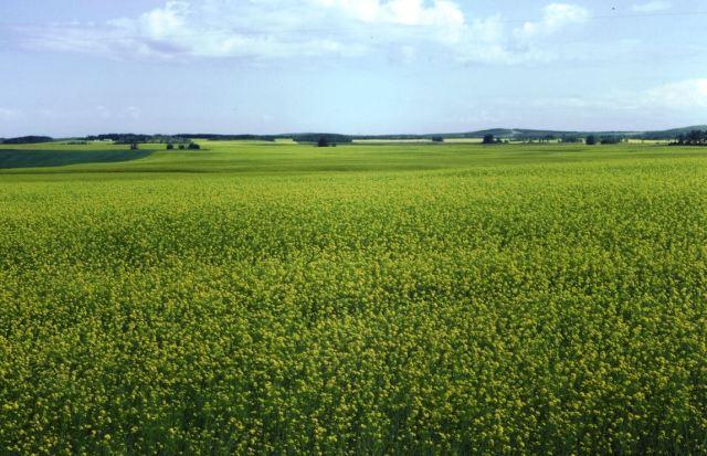 It's not hard to find a canola field in July in western Canada.