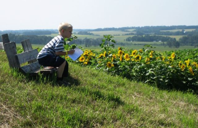 Recording bee visits on domesticated sunflowers in Alberta, Canada.