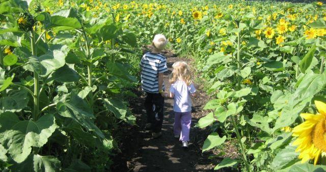 walking in sunflowers