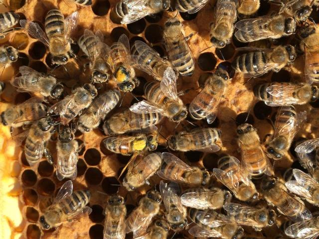 Yellow-dusted honey bees. A new species? Freaks of nature? Supernatural phenomena? What do you think?  (Photo credit: Stephen Bennett)