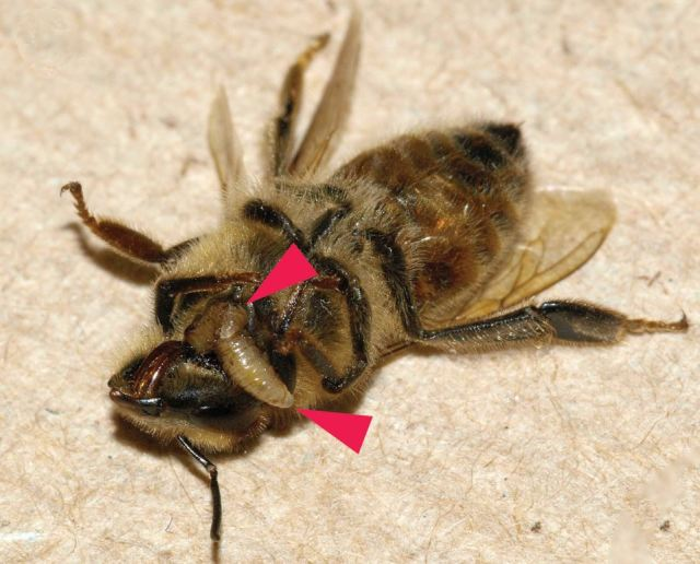 Oh Yuck! Maggot emerging. (Credit: Wiki)