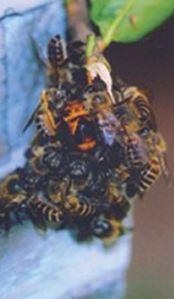 bees-attack-wasp