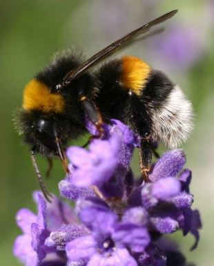 Bombus terrestris, under the radar.