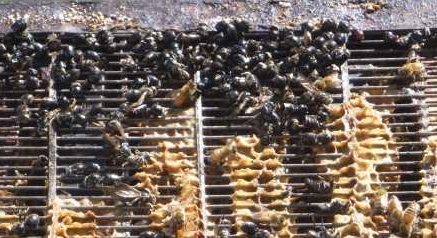 dieter-wasps-on-excluder-bee-pulling