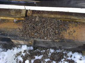 More winter-dead bees than you want.