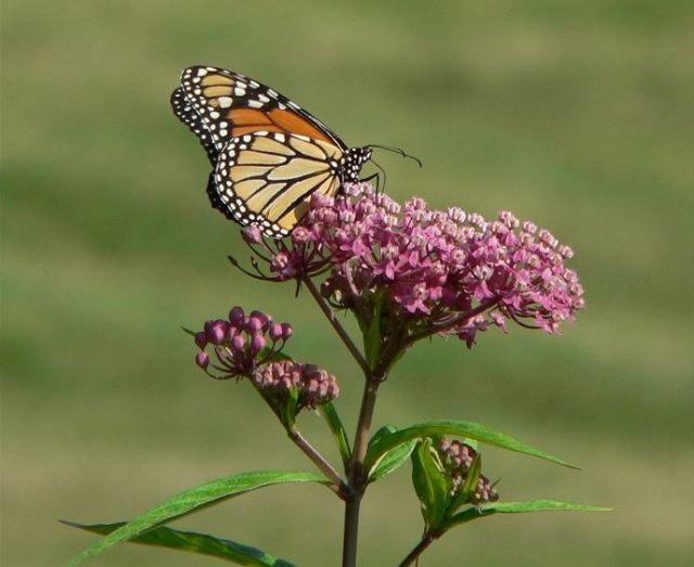 milkweed-and-monarch