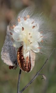 milkweed-seedpod