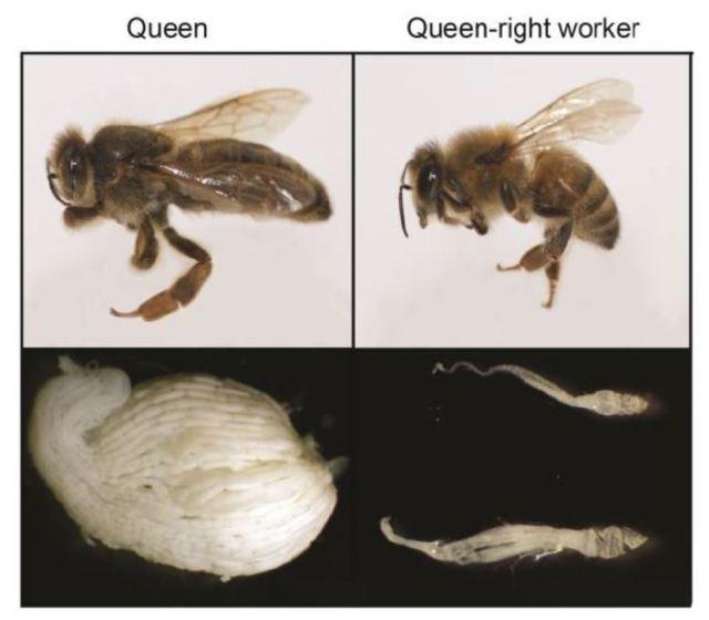 queen v worker ovarioles
