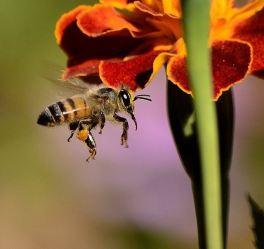 ape-in volo