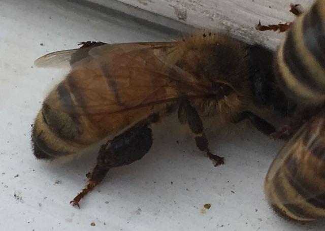 black �pollen� in march bad beekeeping blog