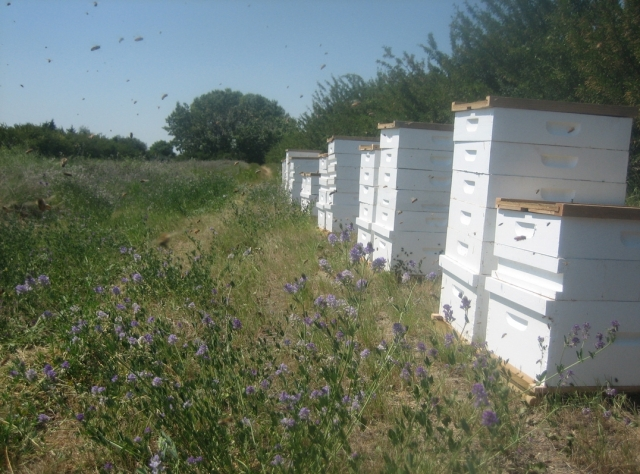 bee yard near alfalfa