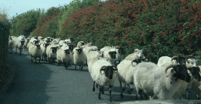 A parade of animals in Ireland